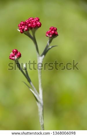 Helichrysum sanguineum - aka Red Everlasting flowers, Red cud-weed, blooms at late spring in the Mediterranean region, The Judean mountains, Israel