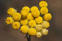 Helichrysum stoechas Eternal Flower aromatic and medicinal plant with yellow flowers green brown background defocused natural light