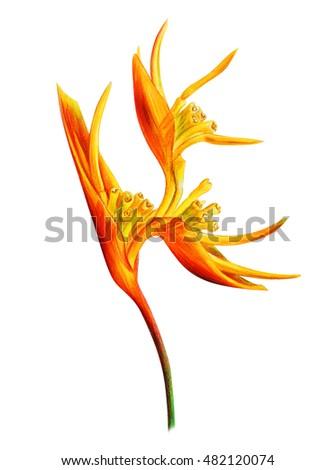Helicon-ia orange flower drawing (Psittacorum)