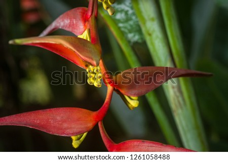 Heliconia collinsiana red bracts and yellow sepals detail, Kenya, East Africa