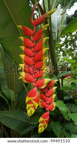 Heliconia flower in its natural habitat.
