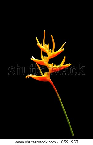 Heliconia flower isolated on black background