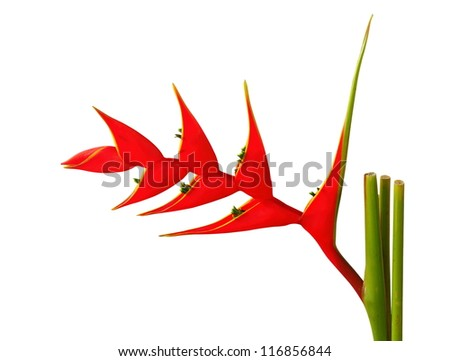 Heliconia flower on a white background.