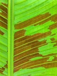 Heliconia Lamarck cv. Striata Banana tree.