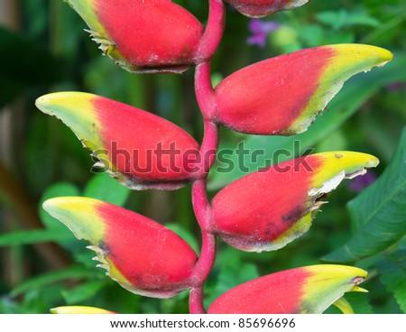 heliconia rostrata in the garden