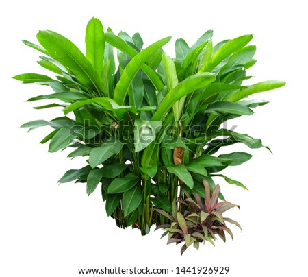 Heliconia the tropical foliage plant bush growing in wild isolated on white background , with clipping path  #1441926929