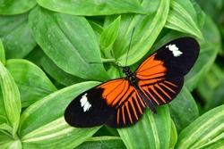 Heliconius melpomene, postman butterfly, common postman