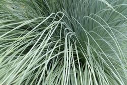 Helictotrichon sempervirens, Blue Oat Grass. Closeup