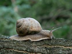 Helix pomatia also Roman snail, burgundy snail, edible snail or escargot, is a species of large, edible, air-breathing land snail.