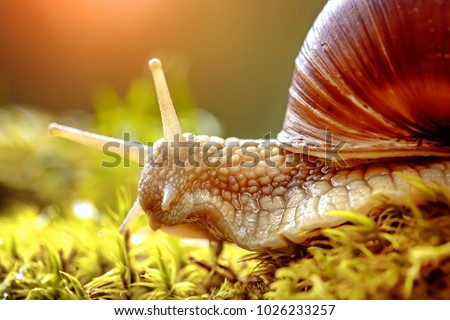 Helix pomatia also Roman snail, Burgundy snail, edible snail or escargot, is a species of large, edible, air-breathing land snail, a terrestrial pulmonate gastropod mollusk in the family Helicidae. - Shutterstock ID 1026233257