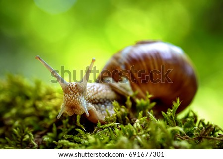 Helix pomatia also Roman snail, Burgundy snail, edible snail or escargot, is a species of large, edible, air-breathing land snail, a terrestrial pulmonate gastropod mollusk in the family Helicidae. - Shutterstock ID 691677301