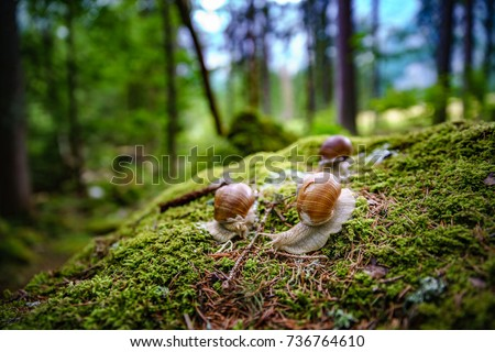 Helix pomatia also Roman snail, Burgundy snail, edible snail or escargot, is a species of large, edible, air-breathing land snail, a terrestrial pulmonate gastropod mollusk in the family Helicidae. - Shutterstock ID 736764610