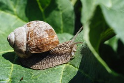 Helix pomatia also Roman snail, Burgundy snail, edible snail or escargot. Snail Muller gliding on the wet leaves. Large white mollusk snails with brown striped shell, crawling on vegetables.