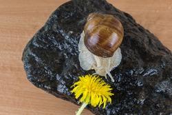 Helix pomatia, common names the Roman snail, Burgundy or edible snail. A grape snail crawls on a black stone to a dandelion.