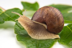 Helix pomatia. grape snail crawling on green leaves. mollusc and invertebrate. delicacy meat and gourmet food