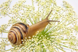 Helix pomatia. little snail crawling on a flower. mollusc and invertebrate. delicacy meat and gourmet food.