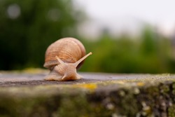 Helix pomatia or Roman snail, Burgundy snail, edible snail or escargot, is a species of large, edible, air-breathing land snail, a pulmonate gastropod terrestrial mollusc, close up after a rain shower