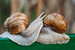Helix pomatia (Roman snail, Burgundy snail, edible snail, escargot) is a species of large, edible, air-breathing land snail. Gastropods. Two land snails during mating. Fauna of Ukraine
