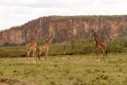 Hell's Gate National Park, Kenya: Giraffes at Hell's Gate National Park in Naivasha, Kenya.
