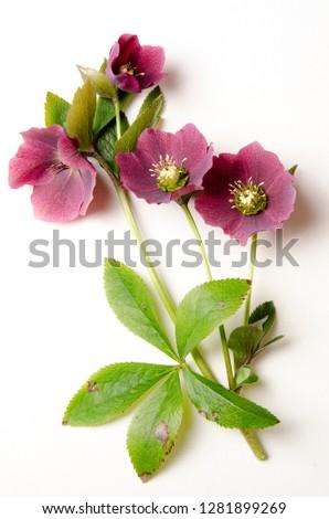 Hellebore botanical board