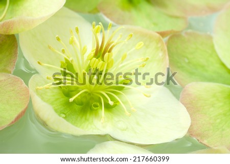 Hellebore flowers floating in water. Also known as Lenten Rose, Winter Rose and even Christmas Rose.