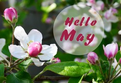 Hello May greeting card with apple blossom spring flowers.Springtime concept.Selective focus.
