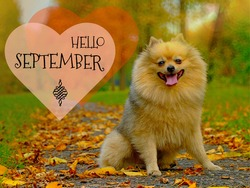 Hello September autumn greeting card with smiling happy pomeranian dog. Fall good mood, autumn funny dog with hand lettering September hello. Yellow background of september park & smiling spitz dog