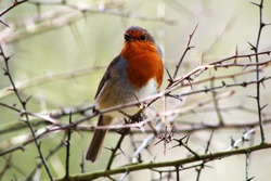 Hello spring! Beautiful red breasted robin, chirping in the early morning sunshine. Handsome red breasted robin puffs out chest sitting on thorny branch. Dorset, U.K.