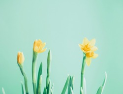 Hello spring. Beautiful Spring banner with fresh yellow daffodil flowers against light green background. Spring flowers in the soft morning sunlight. Concept of greeting cards. Banner. Copy space