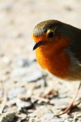 Hello Spring Robin! Cheeky curious robin exploring in the morning sunlight. Beautiful confident robin with bright red breast. Dorset, U.K.