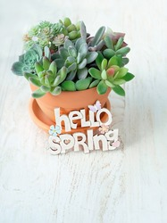 Hello spring. succulents in pot on white wooden rustic background. spring season. home gardening concept.