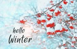 Hello Winter. Rowan tree in snow. winter frozen trees. beautiful winter season concept