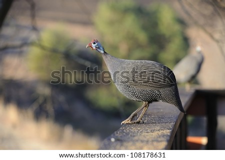 helmeted guinea fowl (Numida meleagris), a game bird common in the south African countryside