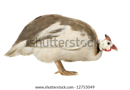 Helmeted guinea fowl - Numida meleagris in front of a white background
