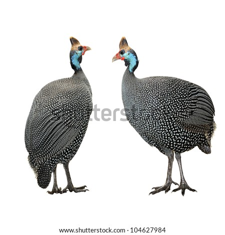 Helmeted guinea fowl (Numida meleagris) isolated against white background. selective focus.