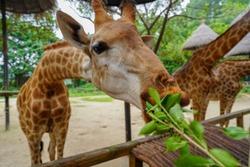 Help Feeding Giraffe in the zoo