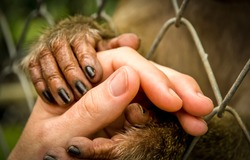Helping hand fog wildlife. The monkey's hands hold a human hand. Animals ask people for help and protection. Man is obliged to protect the animal world. Flora and fauna cry out for human help