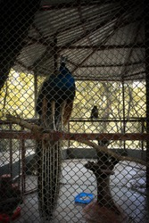 Helpless caged peacock bird in zoo wallpaper
