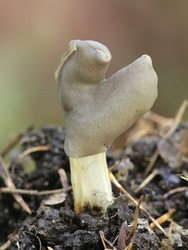 Helvella lacunosa, known as the slate grey saddle or fluted black elfin saddle, mushrooms from Finland