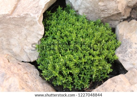 Heme Emerald green globe plant