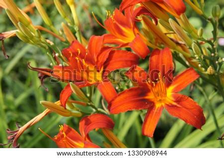 Hemerocallis or daylily lilly orange red flowers in garden