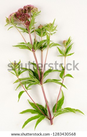 Hemp Agrimony botanical board
