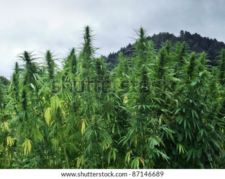 hemp field detail in cloudy ambiance