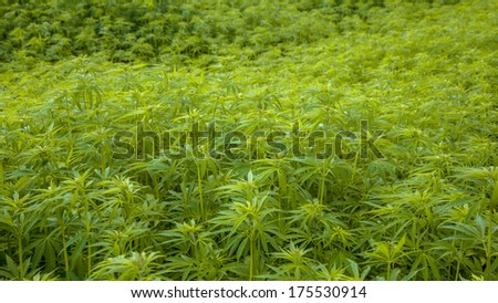 Hemp Flower Buds in a Field with Shallow Background