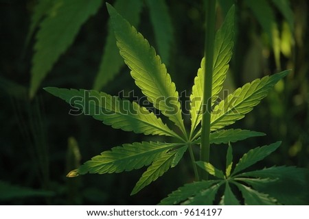 Hemp is a common name for Cannabis sativa and the name most used when this annual plant is grown for non-drug purposes. These include the industrial purposes.