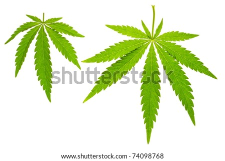 hemp leaf on isolated