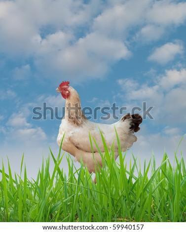 hen - stock photo