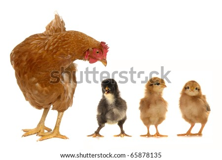 hen and chicks on a white background