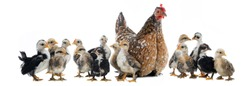 Hen and her chicks isolated on a white background