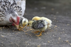Hen and three chicks eating food
